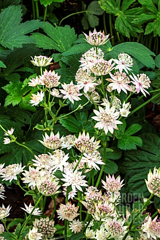 ASTRANTIA_WARREN_HILLS