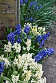 HYACINTHUS NATURALISED AFTER FORCING