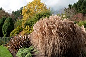 MISCANTHUS SINENSIS MALEPARTUS IN THE WINTER GARDEN AT THE SIR HAROLD HILLIER GARDENS AND ARBORETUM