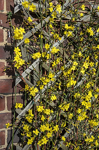 JASMINUM_NUDIFLORUM_WINTER_JASMIN