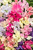 SWEET PEA MIXED  (SPENCER)