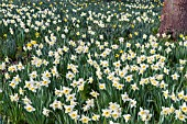 NARCISSUS ICE FOLLIES NATURALISED