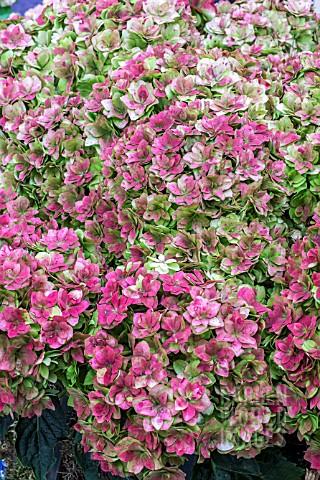 Sdy3433 Hydrangea Double Flower Sensation Red Asset Details
