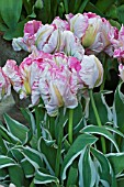 TULIPA SILVER PARROT