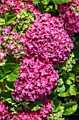 HYDRANGEA CURLY SPARKLE RED