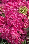 HYDRANGEA CURLY SPARKLE PINK