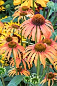ECHINACEA LAUGHING MEADOWS MAMA