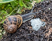 GARDEN SNAIL (CORNU ASPERSUM) AND EGGS