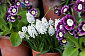 MUSCARI WHITE MIST SURROUNDED WITH AURICULAS