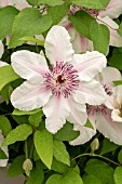 CLEMATIS THE COUNTESS OF WESSEX