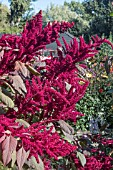 AMARANTHUS CRUENTUS RED SPIKE