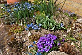RAISED ALPINE BED WITH AUBRETIA CHINODOXA ALYSSUM AND NARCISSUS