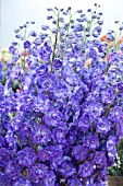 DELPHINIUM KISSI DARK PURPLE