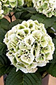 HYDRANGEA MACROPHYLLA LOLLY POP  FIRST STAGE OF AUTUMN COLOUR