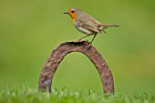 ROBIN PERCHED ON A HORSE SHOE