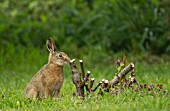 BROWN HARE LEVERET BY A PRUNED ROSE BUSH
