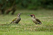 GREEN WOODPECKER ADULT AND JUVENILE ON A GARDEN LAWN