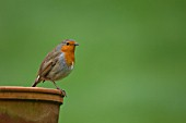 ROBIN PERCHED ON PLANT POT