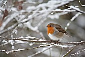 ROBIN PERCHED IN SNOW COVERED TREE BRANCHES