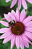 BUFF-TAILED BUMBLEBEE FEEDING ON A ECHINACEA FLOWER