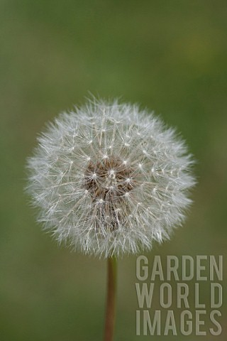 TARAXACUM_OFFICINALE_SEED_HEAD