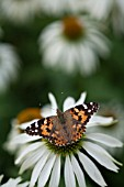 PAINTED LADY BUTTERFLY VANESSA CARDUI, FEEDING ON ECHINACEA