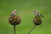 GOLDFINCH TWO YOUNG BIRDS ON CYNARA CARDUNCULUS FLOWER HEADS