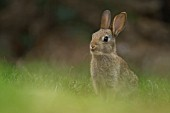 YOUNG RABBIT ON A GARDEN LAWN