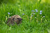 HEDGEHOG AMOUNGST FORGET-ME-NOT FLOWERS