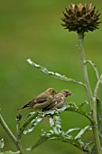 GREENFINCH CARDUELIS CHLORIS, TWO YOUNG BIRDS PERCHED ON CYNARA CARDUNCULUS