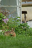 BROWN HARE LEVERET FEEDING IN A GARDEN