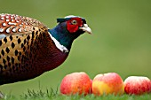 COMMON MALE PHEASANT ON A GARDEN LAWN WITH FALLEN APPLES