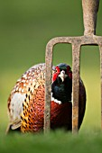 COMMON MALE PHEASANT BY A GARDEN FORK