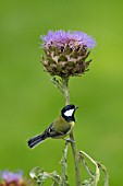 GREAT TIT PARUS MAJOR PERCHED ON A CYNARA CARDUNCULUS