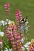 ENGLISH SWALLOWTAIL BUTTERFLY FEEDING ON SUMMER FLOWERS