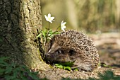 HEDGEHOG WITH ANEMONE