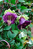 COBAEA SCANDENS CUP AND SAUCER PLANT.