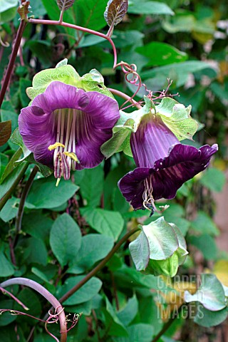 COBAEA_SCANDENS_CUP_AND_SAUCER_PLANT