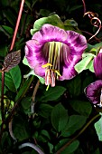 COBAEA SCANDENS. CUP AND SAUCER PLANT.