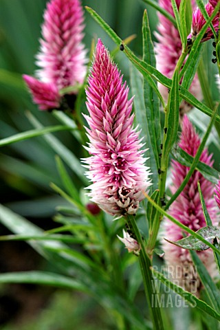 CELOSIA_FLAMINGO_FEATHER