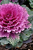 ORNAMENTAL CABBAGE NORTHERN LIGHTS