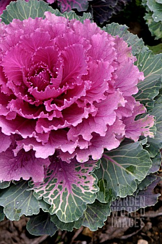 ORNAMENTAL_CABBAGE_NORTHERN_LIGHTS