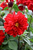 DAHLIA,  BLAISDON RED,  FLOWER