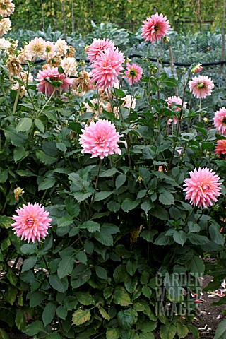 _DAHLIA__YOUNG_BESS__FLOWERS_AND_FOLIAGE
