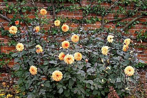 _DAHLIA__DAVID_HOWARD__GROWING_IN_FRONT_OF_A_HIGH_WALL__WITH_A_FAN_TRAINED_FRUIT_TREE