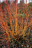 CORNUS SANGUINEA,  MIDWINTER FIRE,  WITH FALLEN LEAVES