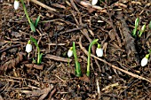 GALANTHUS,  MIGHTY ATOM