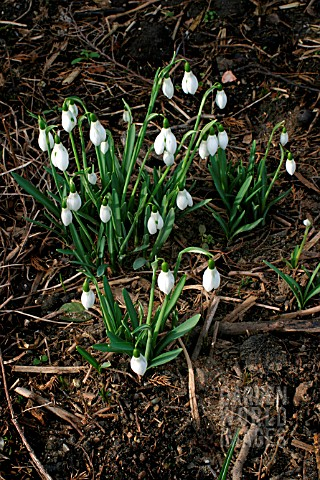 GALANTHUS_BABRAHAM__SCENTED