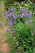 AGAPANTHUS,  AFRICAN BLUE LILY