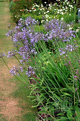 AGAPANTHUS__AFRICAN_BLUE_LILY